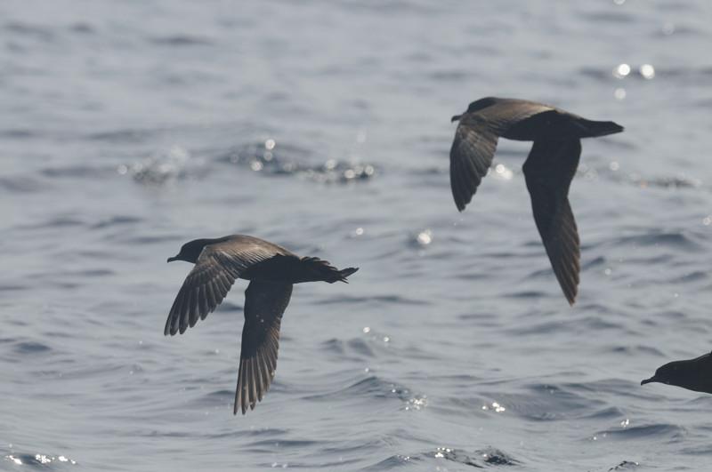 海鳥ウォッチング-2(ハイイロミズナギドリ ハシボソミズナギドリ)_d0099854_093226.jpg