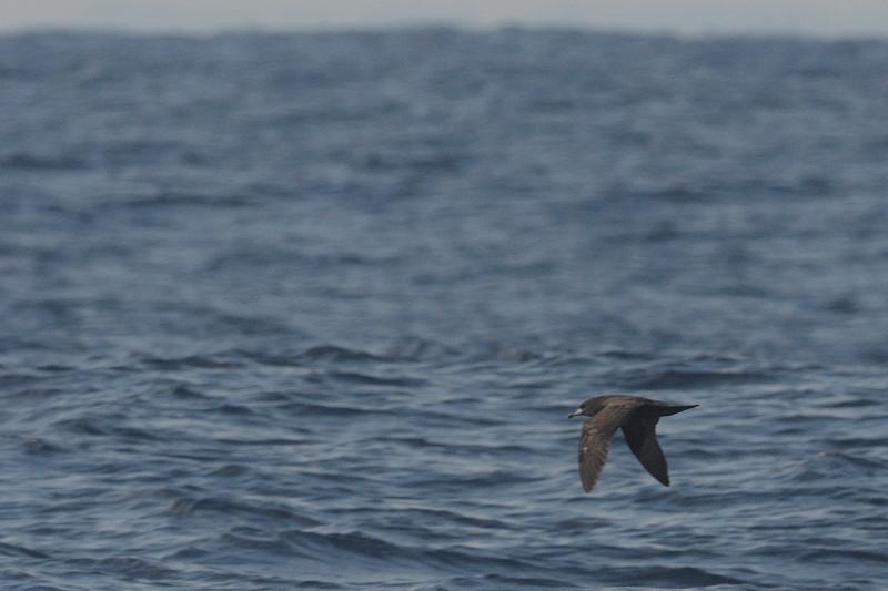 海鳥ウォッチング-2(ハイイロミズナギドリ ハシボソミズナギドリ)_d0099854_095667.jpg