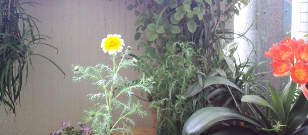 ★春菊のきれいな花が咲きました★_d0082356_13263829.jpg