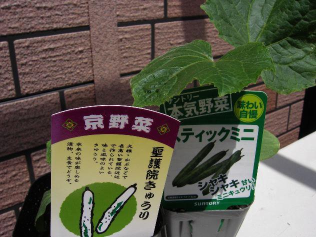 夏野菜の苗を入手しました_c0053863_14143555.jpg