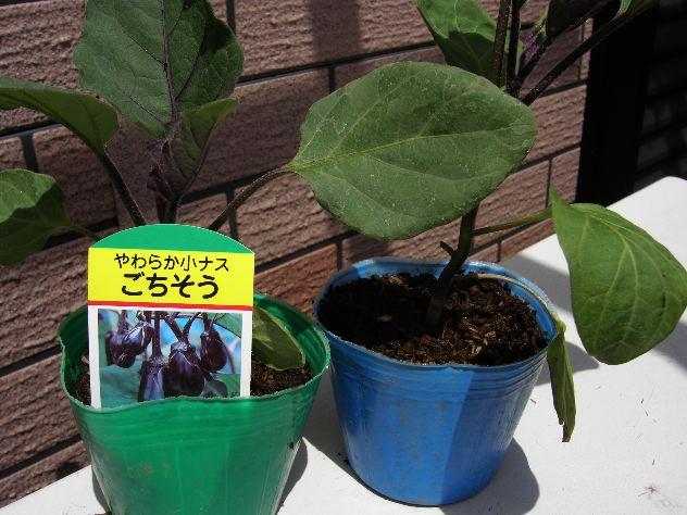 夏野菜の苗を入手しました_c0053863_14144787.jpg