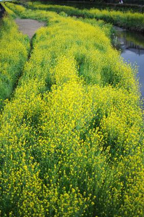 黄色い河_c0229485_161366.jpg
