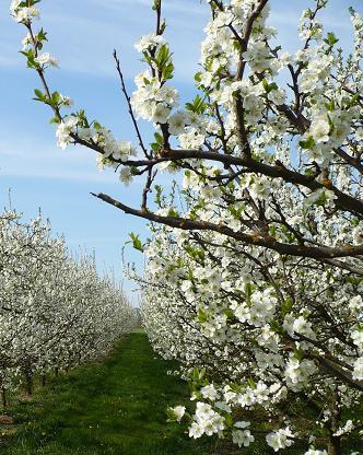 果樹園の春_d0144726_1859042.jpg