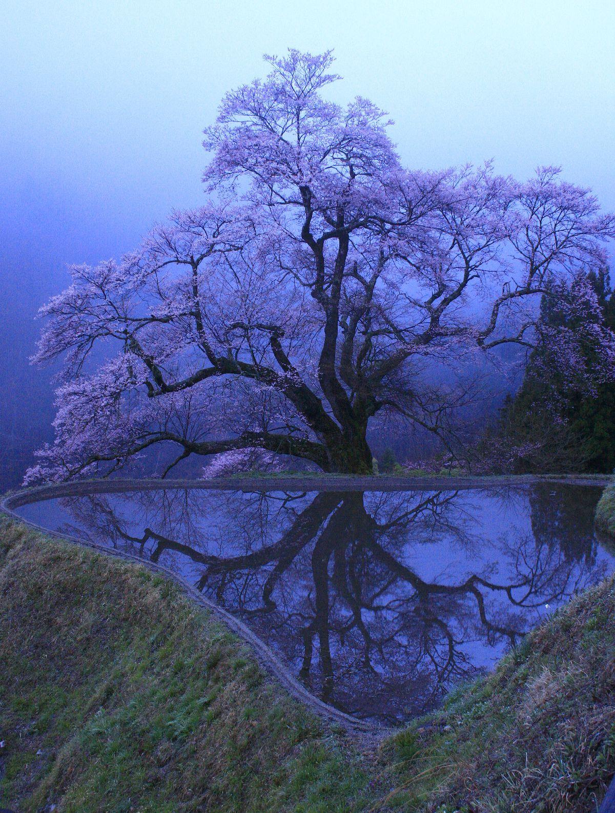 巨桜の花の梢 _c0104227_72956.jpg