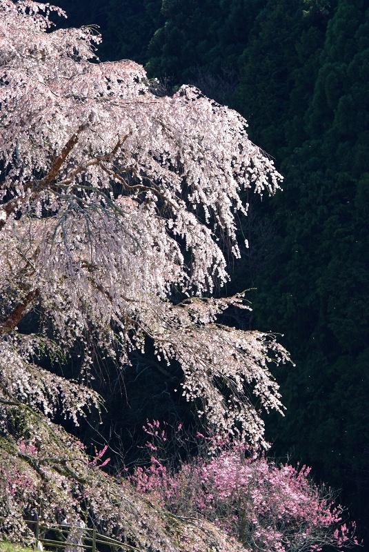 桜時間2_f0050534_1952847.jpg