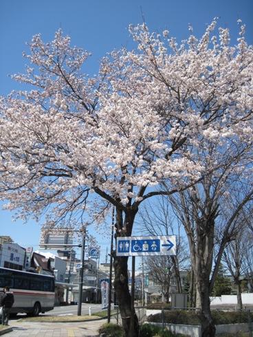 桜情報「大町駅前満開です!」_b0140235_17314254.jpg