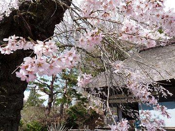 高森観音堂の桜_f0019247_853307.jpg