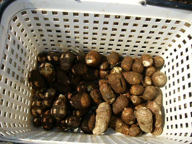 朝雉に会って・・・里芋の植えつけ・・代々自家種芋で・・・_c0222448_14421844.jpg