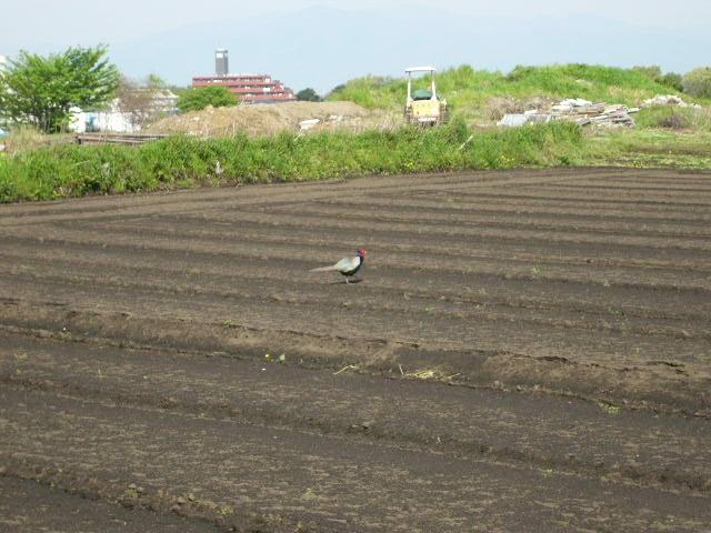 朝雉に会って・・・里芋の植えつけ・・代々自家種芋で・・・_c0222448_14564723.jpg