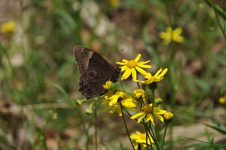2010年4月の蝶_e0194952_219144.jpg