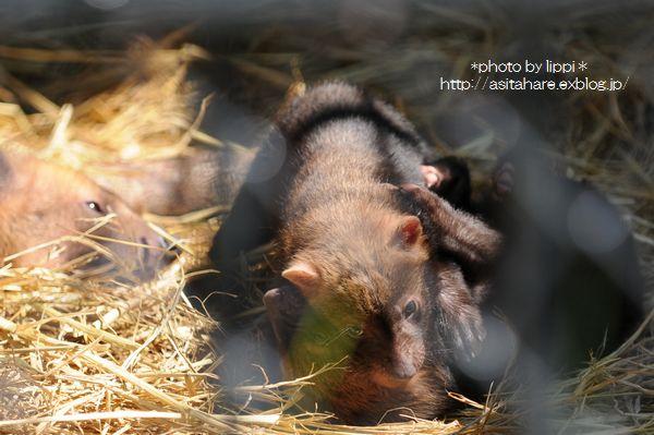 ヤブイヌの赤ちゃん 元気に育っていました。_b0024758_1281252.jpg