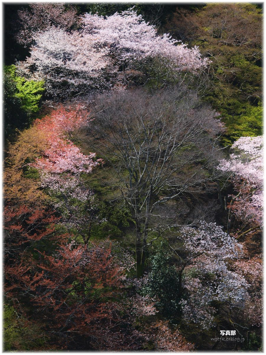 京都 嵐山 桜_f0021869_0551218.jpg