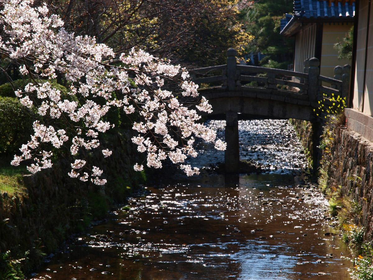 京都 大覚寺 桜_f0021869_2221554.jpg