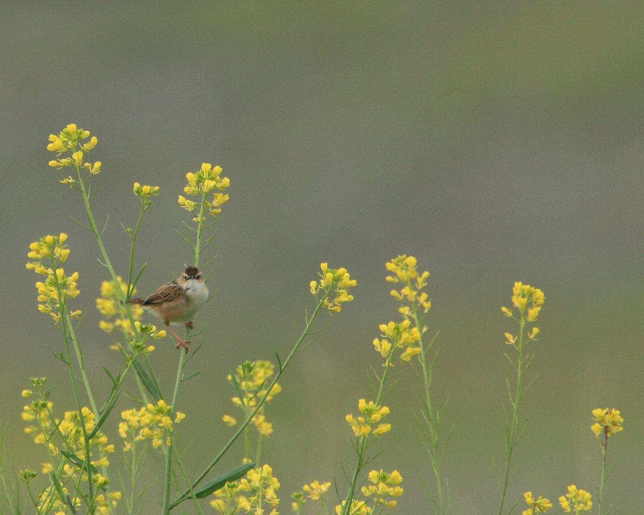 セッカとカラシナ: 春らしい綺麗な野鳥の壁紙_f0105570_2201668.jpg