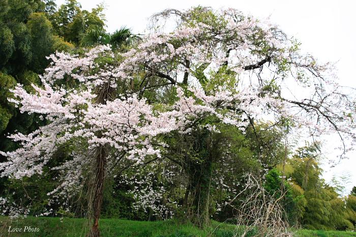 桜を求めて琵琶湖一周ドライブ ③_a0116472_061893.jpg