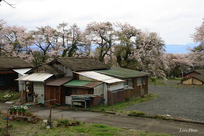 桜を求めて琵琶湖一周ドライブ ③_a0116472_08362.jpg