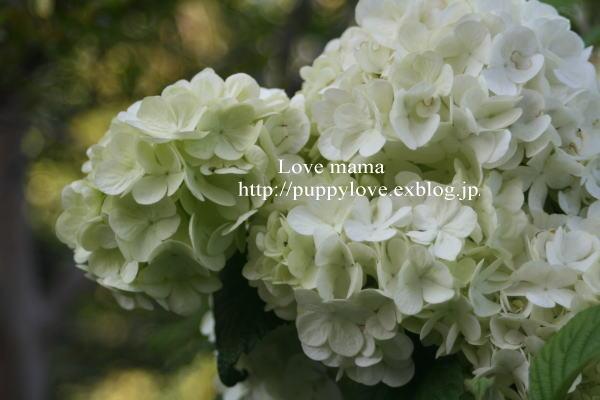 我が家の庭のタケノコとマーガレットが走る_b0136683_15471396.jpg