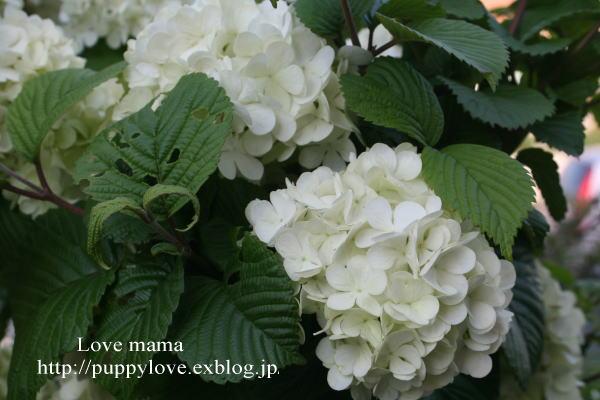 我が家の庭のタケノコとマーガレットが走る_b0136683_15473426.jpg