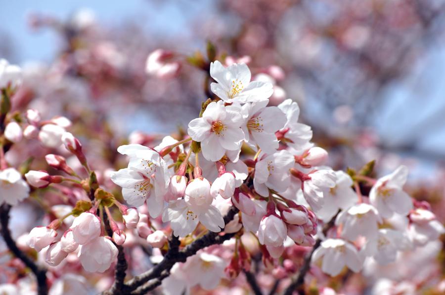 能代公園の桜_e0162117_1394255.jpg
