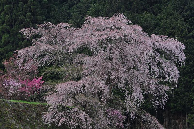 桜時間3_f0050534_612639.jpg