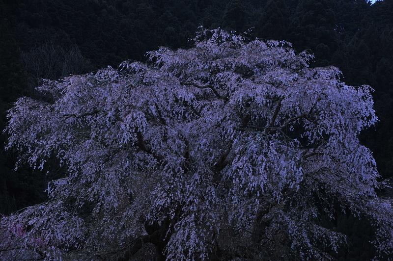 桜時間3_f0050534_6145964.jpg