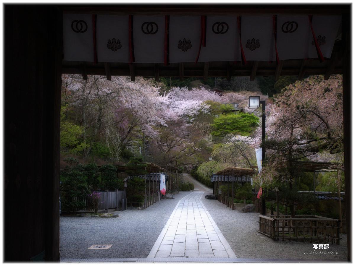 奈良 長谷寺 桜 _f0021869_23215331.jpg