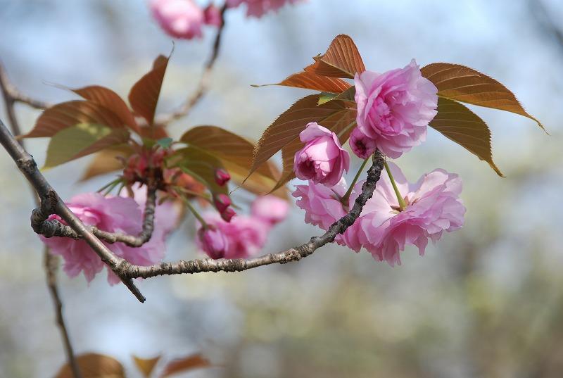八重桜など_c0187781_0154324.jpg