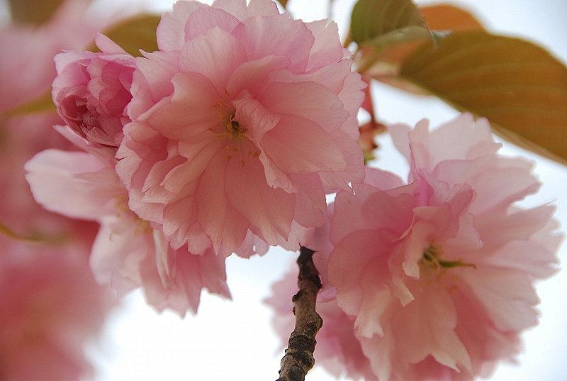 八重桜など_c0187781_0163782.jpg