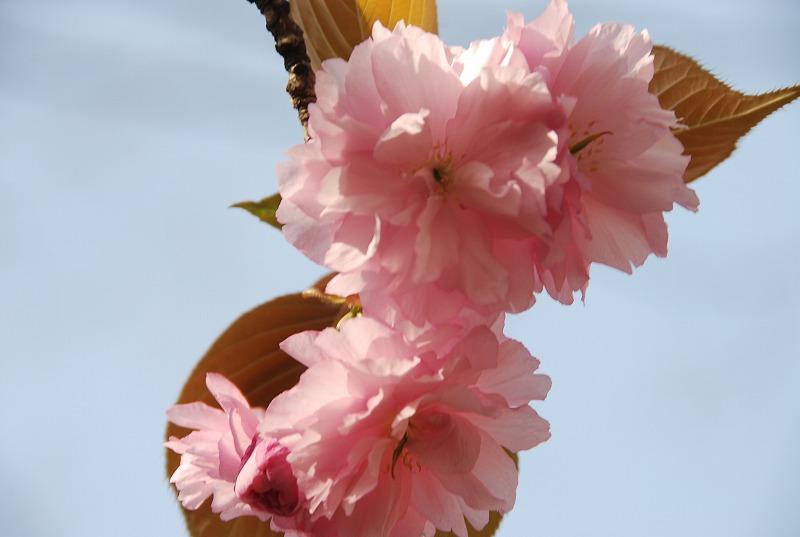八重桜など_c0187781_016529.jpg