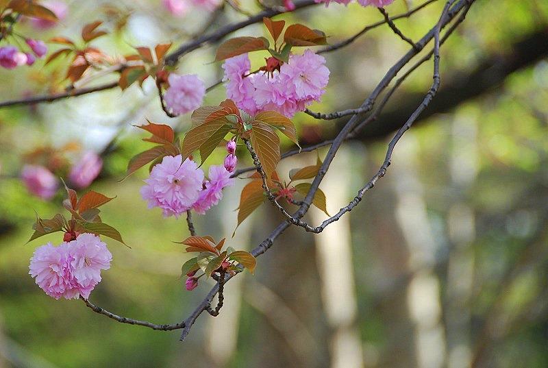 八重桜など_c0187781_0175311.jpg