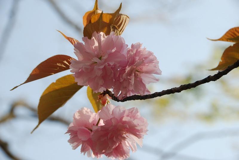 八重桜など_c0187781_018528.jpg