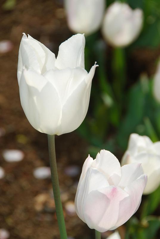 八重桜など_c0187781_0195053.jpg