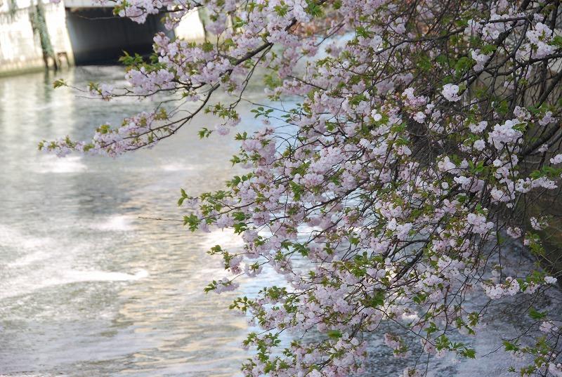 八重桜など_c0187781_038286.jpg