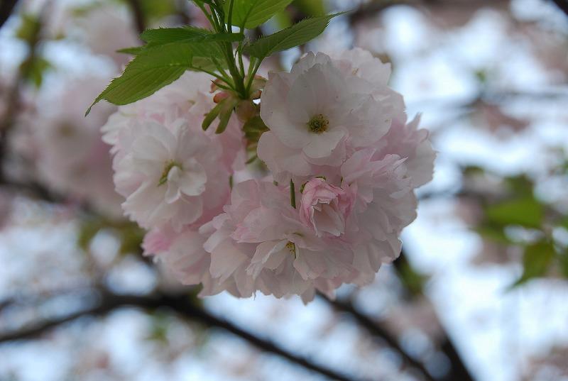 八重桜など_c0187781_0384891.jpg