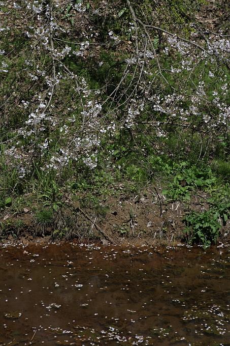妙高・鮫ヶ尾城趾公園の山桜 その1_e0165983_23202620.jpg