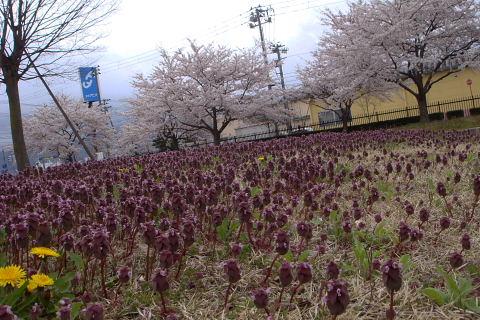 会津若松の桜_f0210811_1182449.jpg