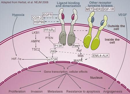EML4-ALK陽性肺腺癌_e0156318_1223546.jpg