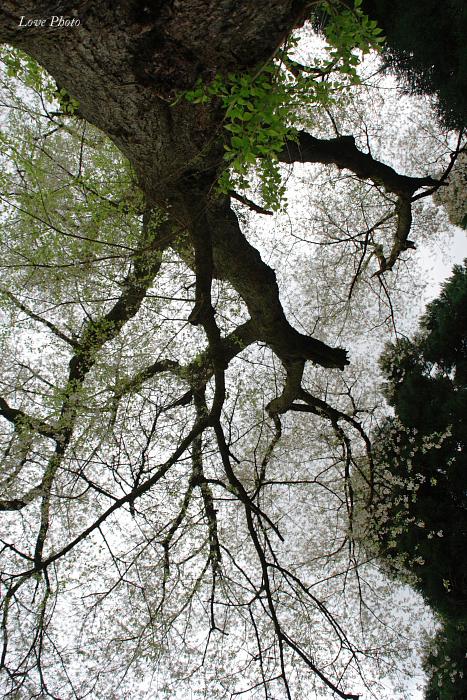 桜を求めて琵琶湖一周ドライブ ④_a0116472_140799.jpg