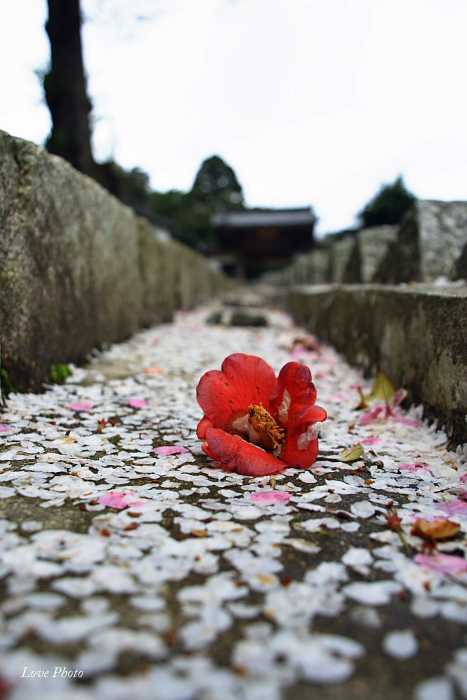 桜を求めて琵琶湖一周ドライブ ④_a0116472_1423759.jpg