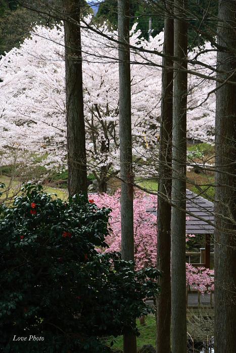 桜を求めて琵琶湖一周ドライブ ④_a0116472_149325.jpg