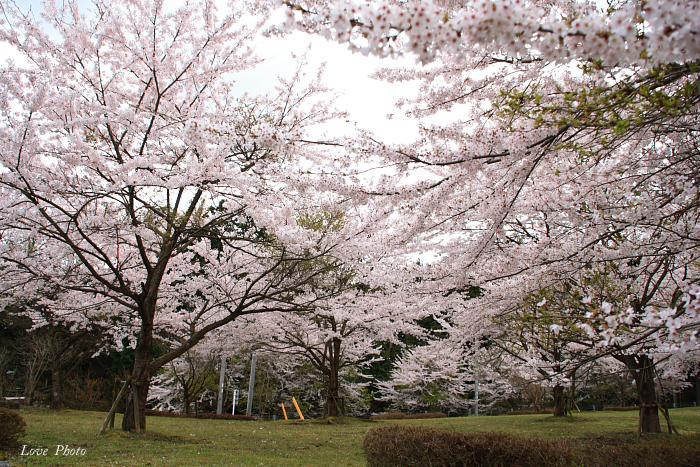 桜を求めて琵琶湖一周ドライブ ④_a0116472_1511066.jpg