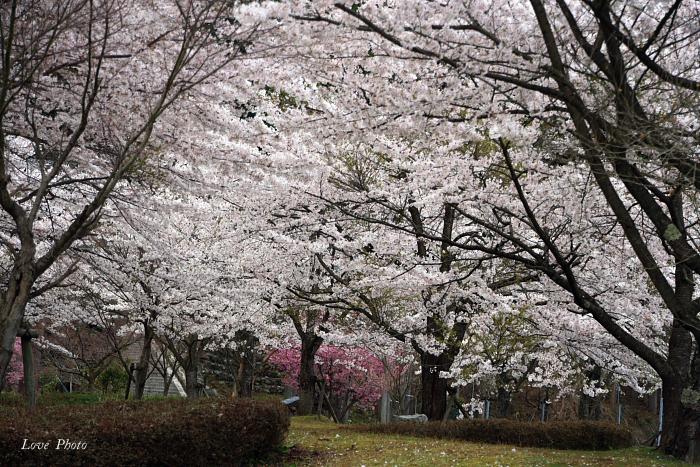 桜を求めて琵琶湖一周ドライブ ④_a0116472_1514662.jpg