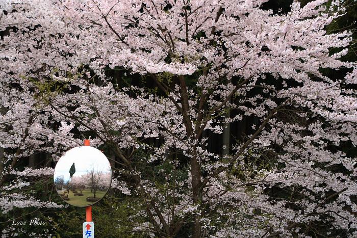 桜を求めて琵琶湖一周ドライブ ④_a0116472_1531392.jpg