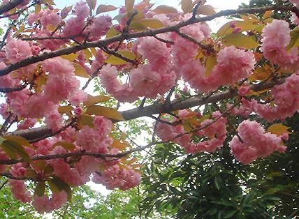 桜もち_c0049601_23111738.jpg