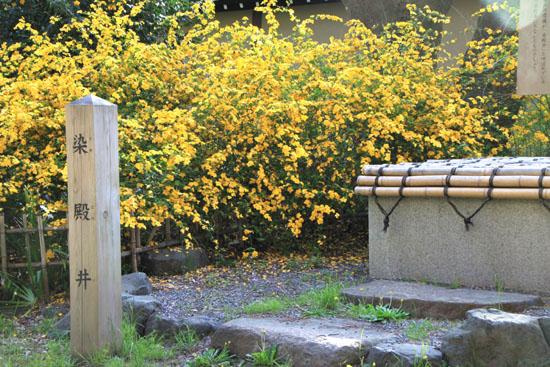 京都御苑 山吹満開_e0048413_22192525.jpg