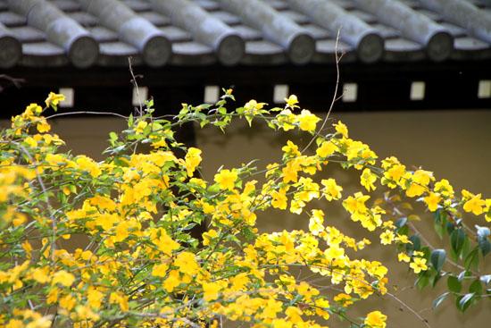 京都御苑 山吹満開_e0048413_22194916.jpg