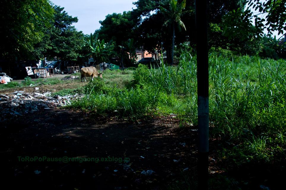 牛の放し飼い_e0132518_21435817.jpg