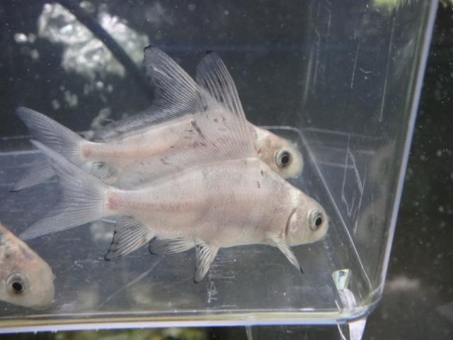 熱帯魚・金魚・水草_f0189122_137748.jpg
