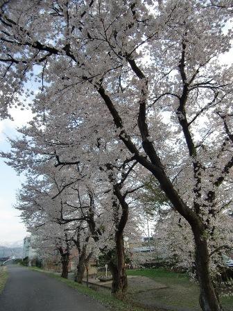 南魚沼市の桜_a0128408_17492258.jpg