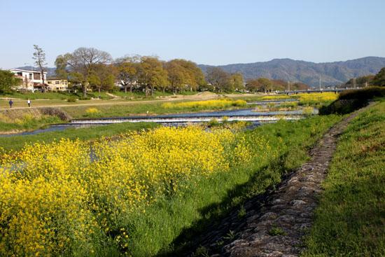 鴨川の菜の花_e0048413_2111155.jpg